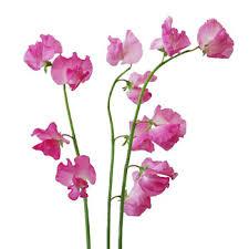 sweet pea flowers pink designer japanese sweet peas