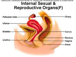 Anatomy Of Reproductive System Female Reproductive Anatomy And Physiology Infertility U0026 Ivf Vancouver