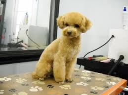 different styles of hair cuts for poodles toy poodle full grooming at pink pucci pet spa japanese style dog