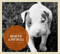 american pitbull terrier 5 months old pit bulls mistakes to avoid when training pitbulls