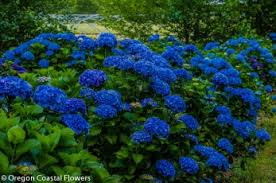 wholesale hydrangeas wholesale fresh cut hydrangeas oregon coastal flowers