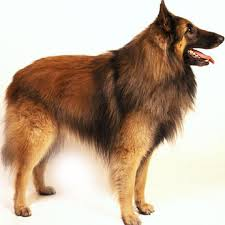 belgian sheepdog size and weight belgian tervuren petcha
