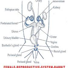 Anatomy Of Reproductive System Female Female Reproductive System Rabbit Biozoom