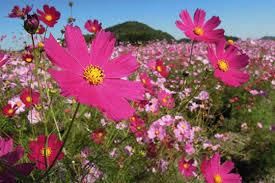 flowers on kasaoka bay reclaimed land sightseeing spots