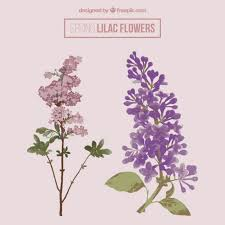 lilac flowers beautiful lilac flowers vector free