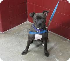 american pitbull terrier c kinley adopted dog cameron mo american pit bull terrier mix