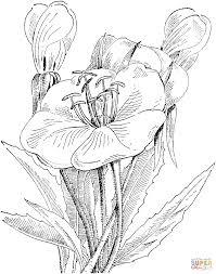 oenothera caespitosa or scapose primrose coloring page free