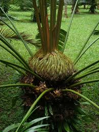 era nurseries buy trees online wholesale australian native buy cold hardy palm trees wholesale plant nursery queen palms