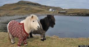 scotland s shetland ponies don fair isle sweaters for tourism