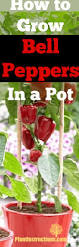 how to grow bell peppers in a pot plant instructions