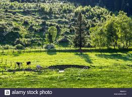 K Hen Bei Wiese Weide Mit Kühen An Einem Bach Sauerland Bei Winterberg