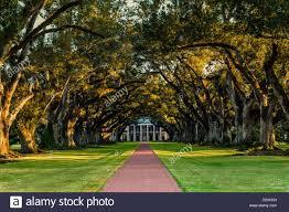 oak trees form a canopy a walkway to a plantation stock