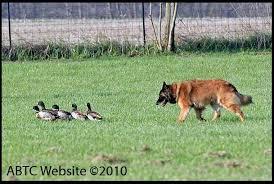 belgian tervuren club colorado herding ch u0027s abtc
