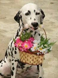 51 dalmatian dog honor chelsea images