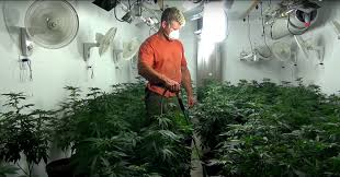 smoking weed in backyard growing weed in your backyard the ultimate step by step guide