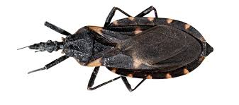 What Are The Red Bugs On Concrete by Hidden Threat The Kissing Bug And Tropical Diseases