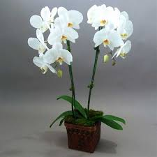orchid plants orchid plants 2 in 1 pot as white for home delivery in dubai