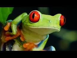 eyed tree frog 01