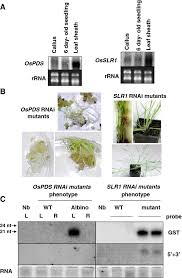 an in planta agrobacterium mediated transient gene expression