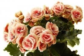 begonia flower growing begonia houseplants information on begonias as houseplants