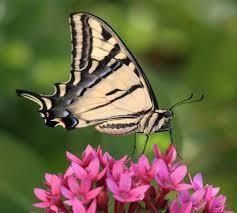 butterfly dimension butterflies newly emerged butterfly