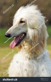 afghan hound dog images beautiful fawn afghan hound dog summer stock photo 389035156
