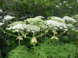 native plants in claremont giant hogweed giant hogweed is a non native invasive plant that