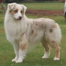 australian shepherd with german shepherd top 10 most intelligent dogs in the world australian shepherd