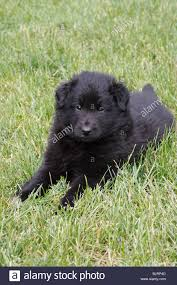 belgian sheepdog for sale uk groenendael belgian shepherd dog stock photos u0026 groenendael