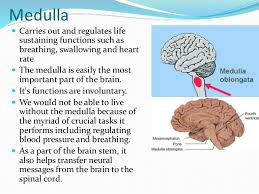 Thalamus Part Of The Brain Medulla Reticular Formation Thalamus And Hippocampus