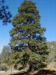 southern yellow pine for sale wholesale lowest prices