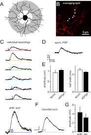 ng2 glial cells integrate synaptic input in global and dendritic