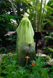 corpse flower stinking up botanical garden later this month iowa