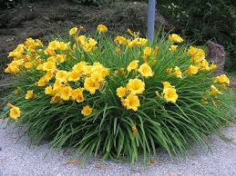 stella daylily perennial annual parings daylilies hemerocallis the