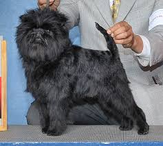 affenpinscher long hair george lucas based ewok u0027s on this a affenpinscher dog look at the