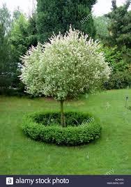 dappled willow variegated willow salix integra hakuro nishiki