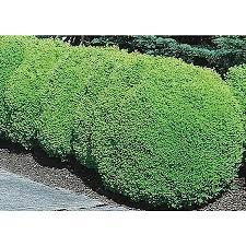shop 2 quart white green mountain boxwood foundation hedge shrub