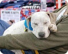 american pitbull terrier breeders st louis st louis mo german shepherd dog mix meet brookes a dog for