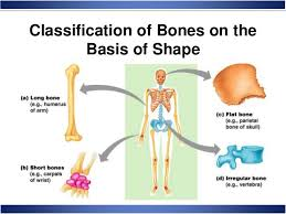 Anatomy Of The Human Body Bones Skeletal System Anatomy And Physiology