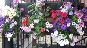 Best Plants For Hanging Baskets by Hanging Baskets Best Plants U0026 Maintenance U2014 Saturday Magazine