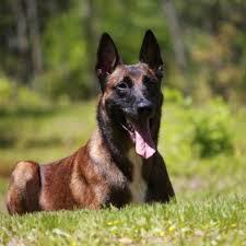 belgian shepherd oklahoma wall of fame protection dogs