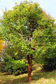 Tree For Home Decoration Outdoor U0026 Garden Nice Paperbark Maple Tree For Home Landscaping Ideas