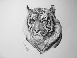 photos tiger face pencil drawing drawing art gallery