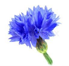 blue flower one blue flower isolated on white background up studio