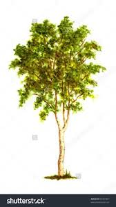 image result for canadian tree trees