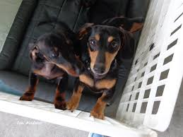 australian shepherd puppies for sale 34655 toni weidman trinity fl u2022 homes for sale