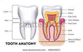 Human Dental Anatomy Anatomy Stock Images Royalty Free Images U0026 Vectors Shutterstock