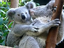 Meme Generator Koala - koala love blank template imgflip