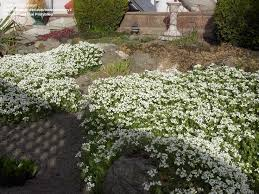 28 best ground covers images on pinterest gardening ground