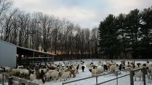 Custom Purchasing Custom Goat U0026 Lambs